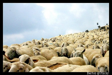 Foto Bild einer Schafherde