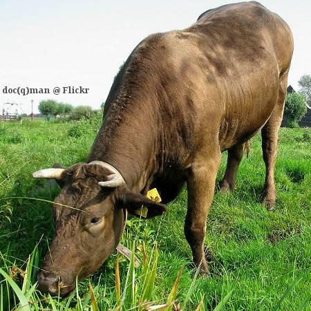 Rind grast auf Weide