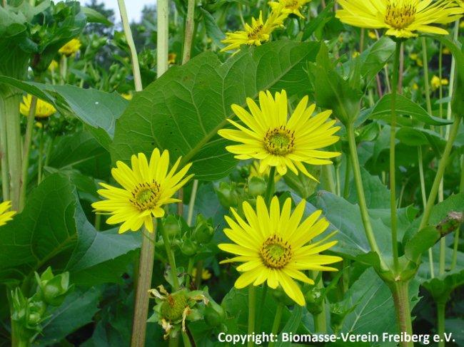 Silphie als Energiepflanze