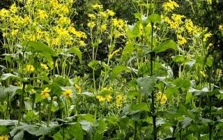 Foto Silphie als alternative Energiepflanze