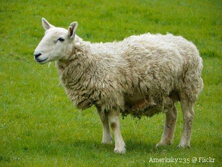 Foto Photo von einem Schaf