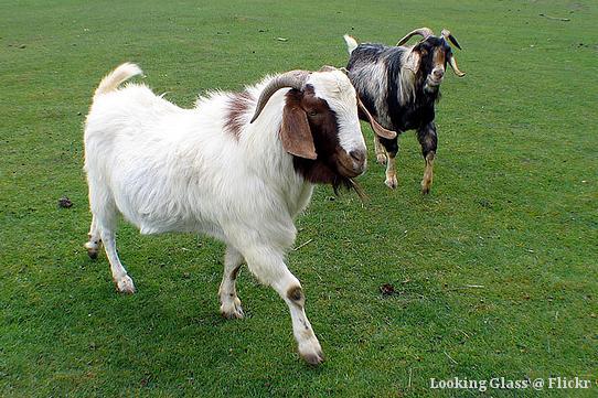 Foto von zwei Ziegen