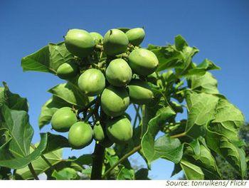 Perennial Energiepflanze mit Vorteilen für die Bioenenergie