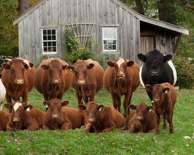 10 Rinder und Kühe