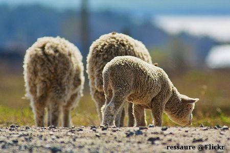 Schaffamilie mit Lamm