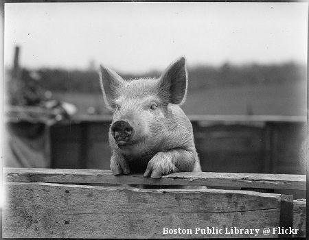 Foto von neugierigem Schwein Sau