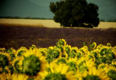 Bioenergie Biodiesel Sonnenblume Pflanzenöl Biokraftstoff Biogas