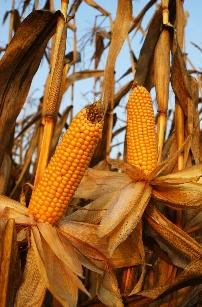 Vorteile und Nachteile beim Anbau von Mais