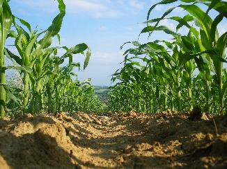Vergleich von Mais und Zuckerrübe als Energiepflanze