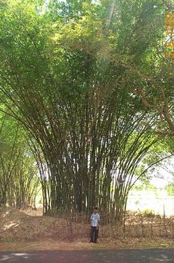 beema bamboo