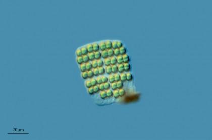 Microalgae6 - microalgua