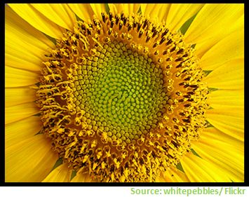 Struktur der Sonnenblume nutzen für Photovoltaikmodule Grätzel-Zelle Farbstoffsolarzelle