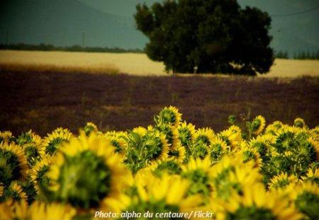 Abgewendete Sonnenblumen als Energiepflanze für Biokraftstoffe Bioethanol
